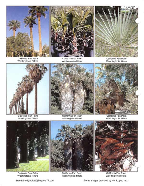 California_Fan_Palm