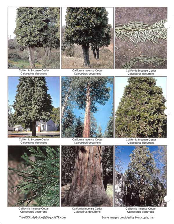 California_Incense_Cedar