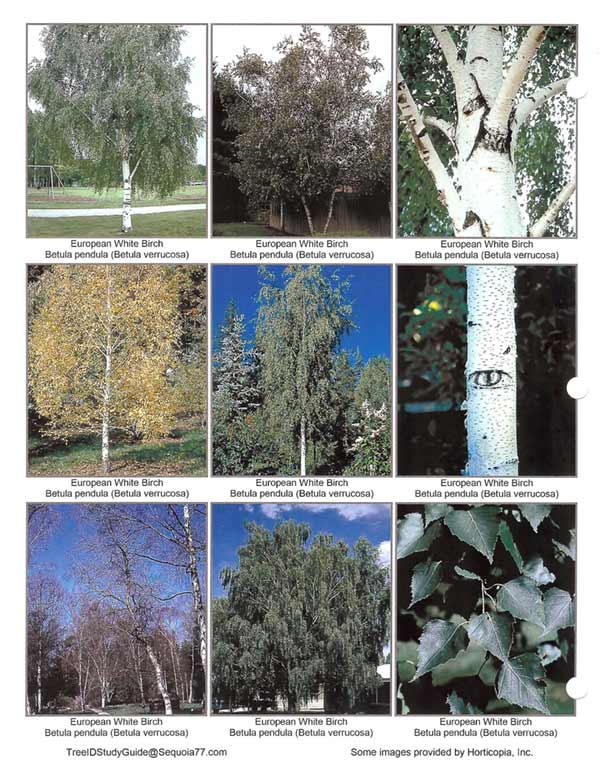European_White_birch