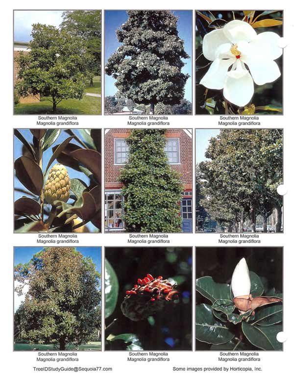 Southern_Magnolia