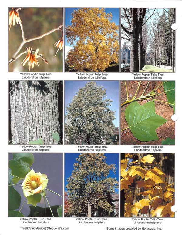 Yellow_Poplar_Tulip_Tree